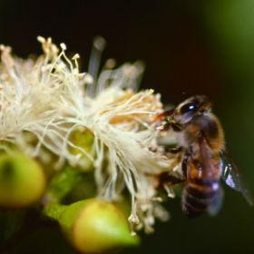 ミツバチはプロポリスをどうやって作るの?