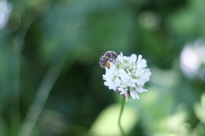 ミツバチがみずからを守るために作り出すプロポリス
