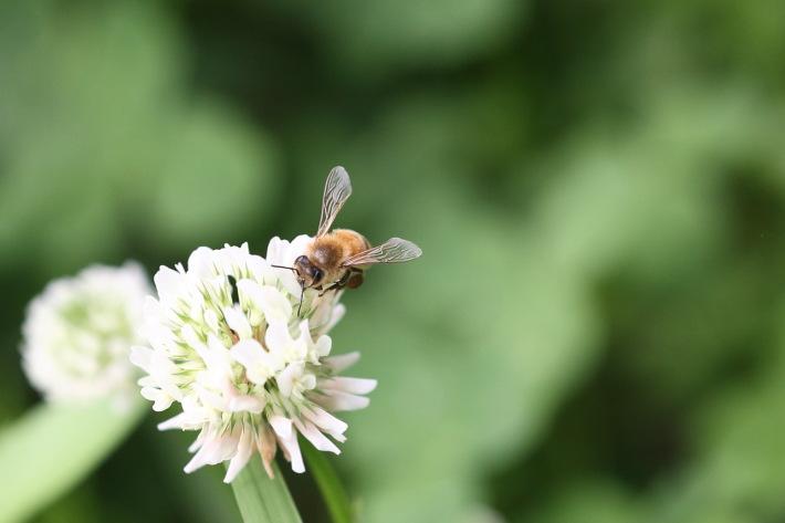 ミツバチの「巣別れ」の季節は、ローヤルゼリーの旬