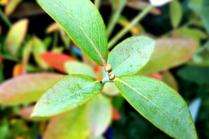 ブルーベリー茎エキス配合